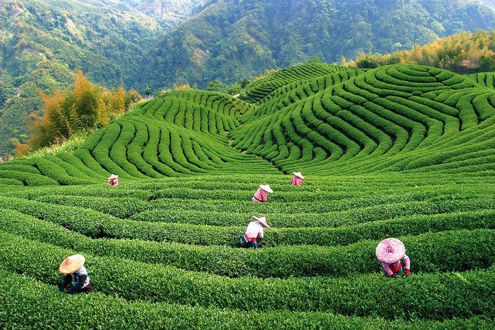 собирают чай в китае